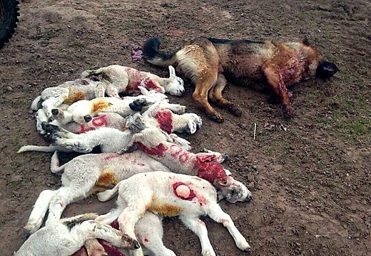 THESE lambs were slaughtered by the dog seen here, shot by the farmer