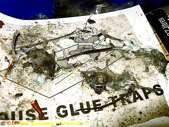DISGUSTING: the decomposed creatures found on a glue trap in the cellar