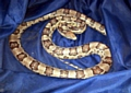 SLITHERING through Oldham . . . this snake was found in Roundthorn Road