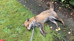 The fox was discovered collapsed and shaking in School Grove in Manchester by a resident who alerted the RSPCA