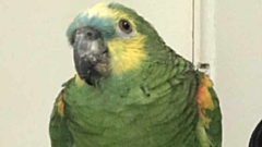 This lost Blue-fronted Amazon parrot is very friendly